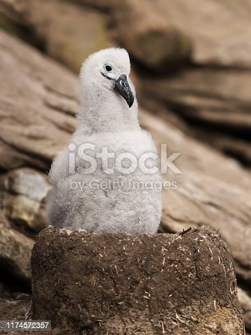 Young Black-browed Albatross chick sitting in its mud cup nest, Falkland Islands.