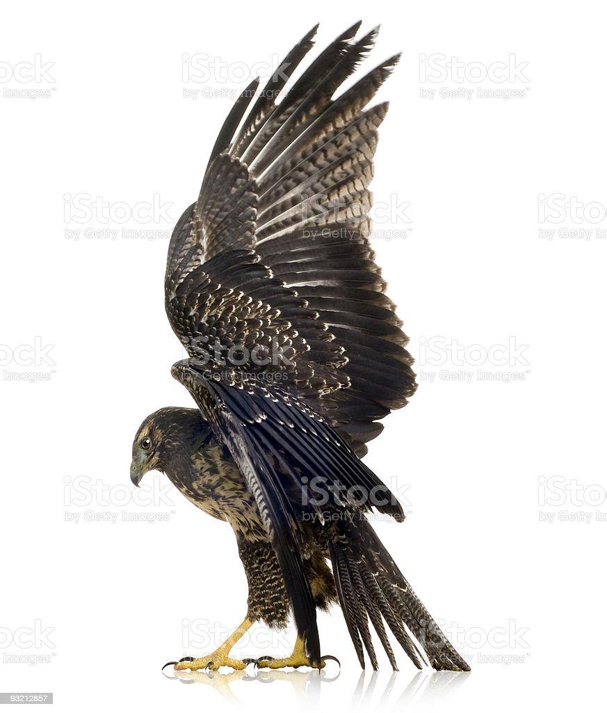 Jeune noire Buse à poitrine-aigle Geranoaetus melanoleucus - Photo