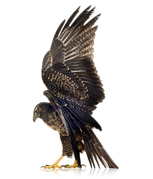Young Black-chested Buzzard-eagle  - Geranoaetus melanoleucus stock photo