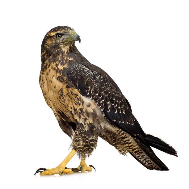 young black-chested buzzard-eagle - geranoaetus melanoleucus - falcon bird stock photos and pictures