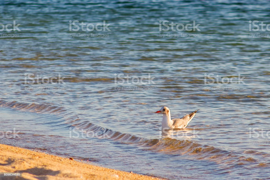 Young black-headed gull royalty-free stock photo