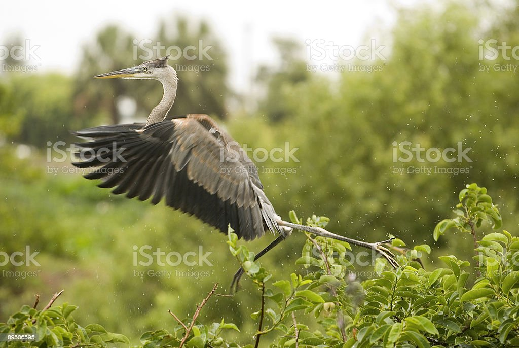 Young Blue Heron Running Across Tree Tops stock photo