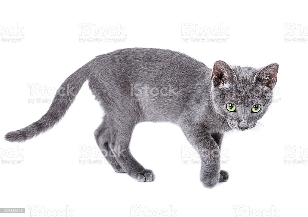 Young blue russian cat with green eyes ready to hunt stock photo