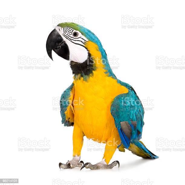 Young blueandyellow macaw ara ararauna picture id93214101?b=1&k=6&m=93214101&s=612x612&h=gkgygttmgohdlogc9tzm9r5yxpalbnde5k2cv8xzd10=