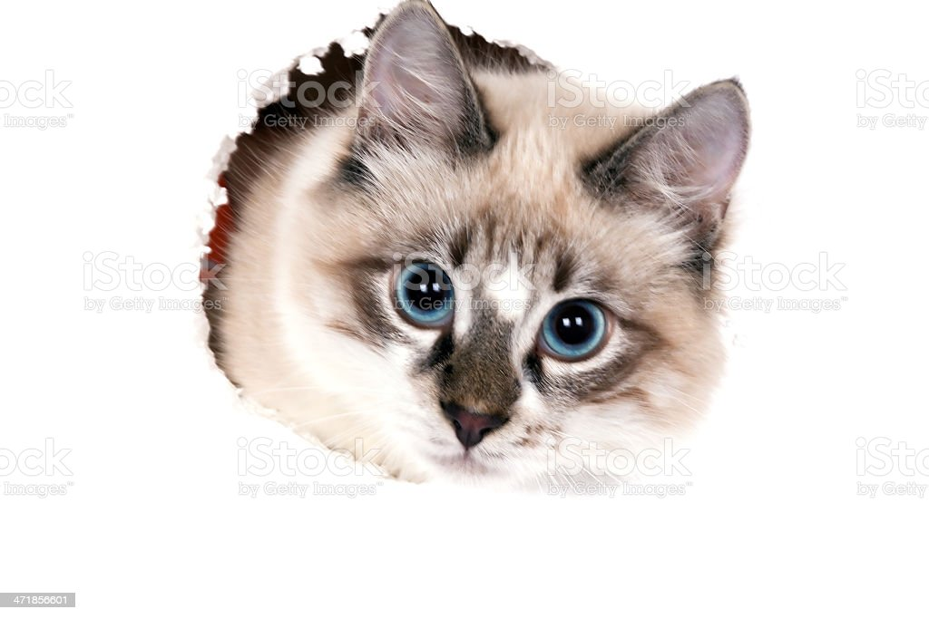 young blue-eyed cat stock photo