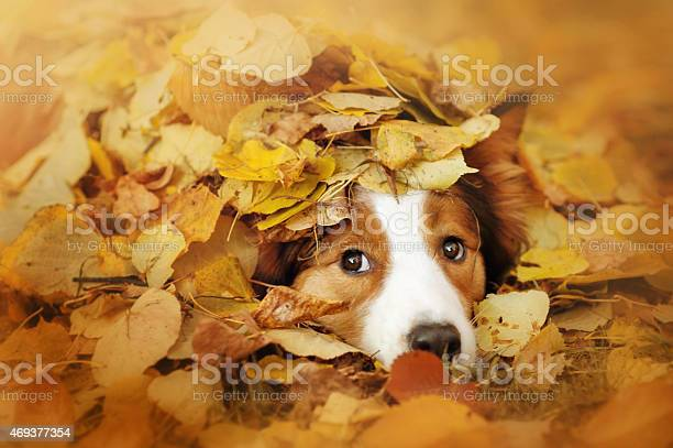 Young border collie dog playing with leaves in autumn picture id469377354?b=1&k=6&m=469377354&s=612x612&h=nazfvxtbcxvre042qobbuywlaugjs8qgosrzh nxvuo=