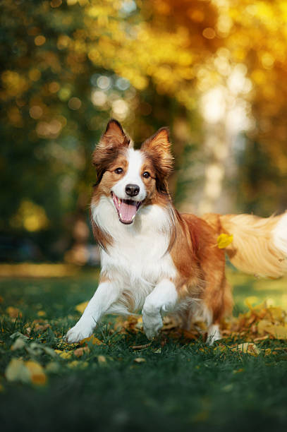 Young border collie playing in autumn picture id469377386?b=1&k=6&m=469377386&s=612x612&w=0&h=hwso9iblnbsjkxrvvolhfzd2cqikvdg9omvnawse4ai=