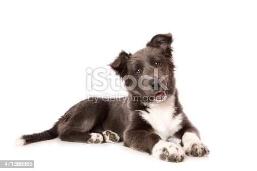 A cute Border Collie pup isolated on white. Rare