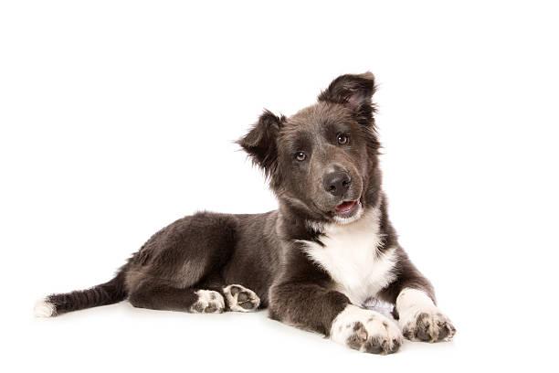 young border collie pup - yatmak stok fotoğraflar ve resimler
