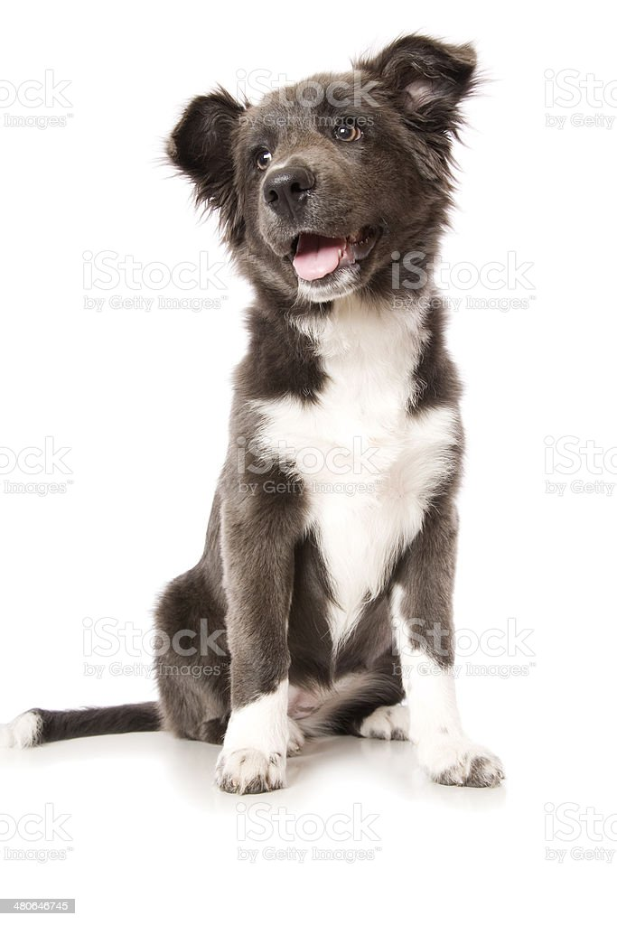 Young Border Collie Puppy royalty-free stock photo