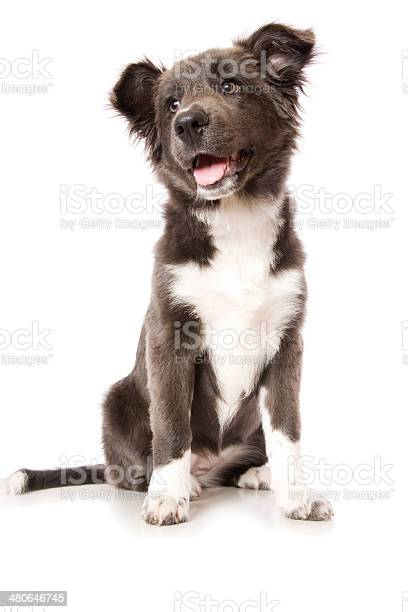 Young border collie puppy picture id480646745?b=1&k=6&m=480646745&s=612x612&h=fqnrhj tteyta6ov mx2unisa7mq48inn7nr0cqayf8=