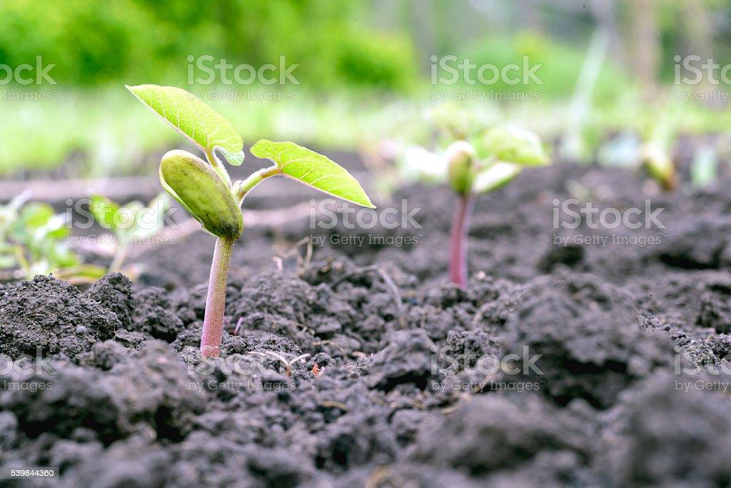 Young Borlotti Bean Growing in the Earth stock photo