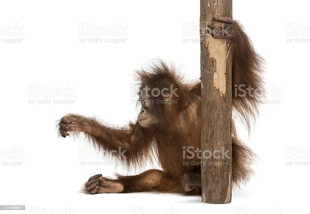 Young Bornean orangutan sitting, holding to a tree stock photo
