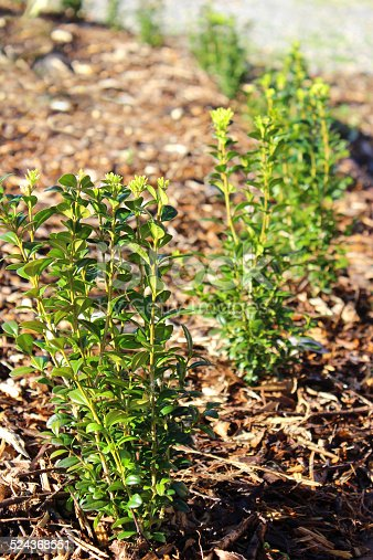 Photo showing a row of young box hedging plants, planted and spaced out with room to grow.  This boxwood / buxus sempervirens hedge will provide a neat evergreen formal edge to the garden border, creating a knot garden character / parterre. The soil has been mulched with rotted bark mulch, which both prevents weeds growing and helps to retain moisture during periods of dry weather.