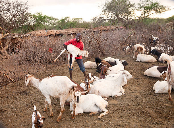 Young boy caring for his goats in Masai village. stock photo