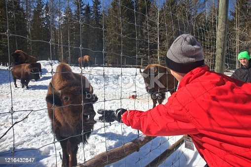 A young boy feeding a buffalo some snow in winter.