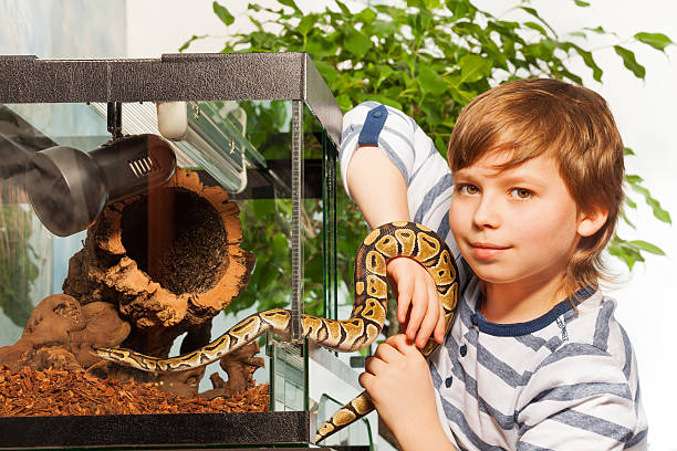 Young boy holding small Royal python - foto stock