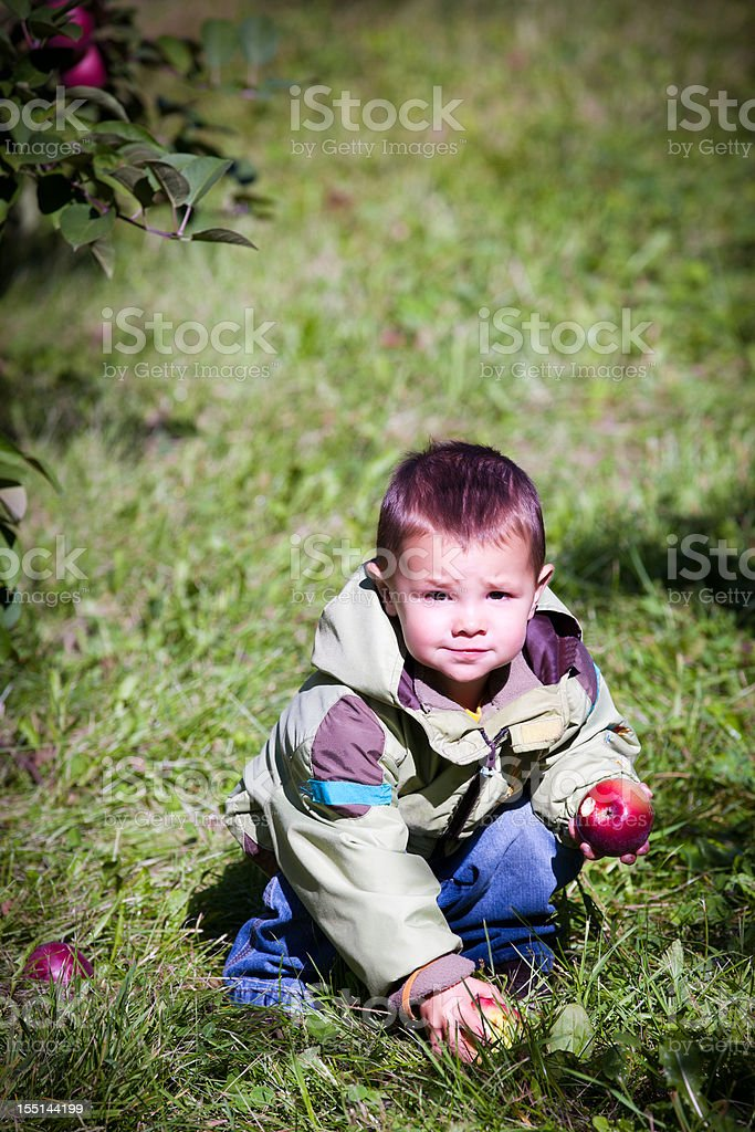 Young Boy Picking Apples in Orchard royalty-free stock photo