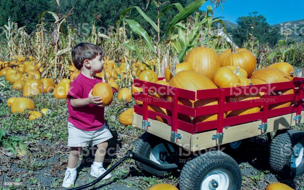 Young Boy Picking Pumpkins on Farm stock photo