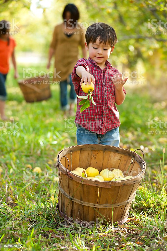 Young boy putting apple in basket stock photo