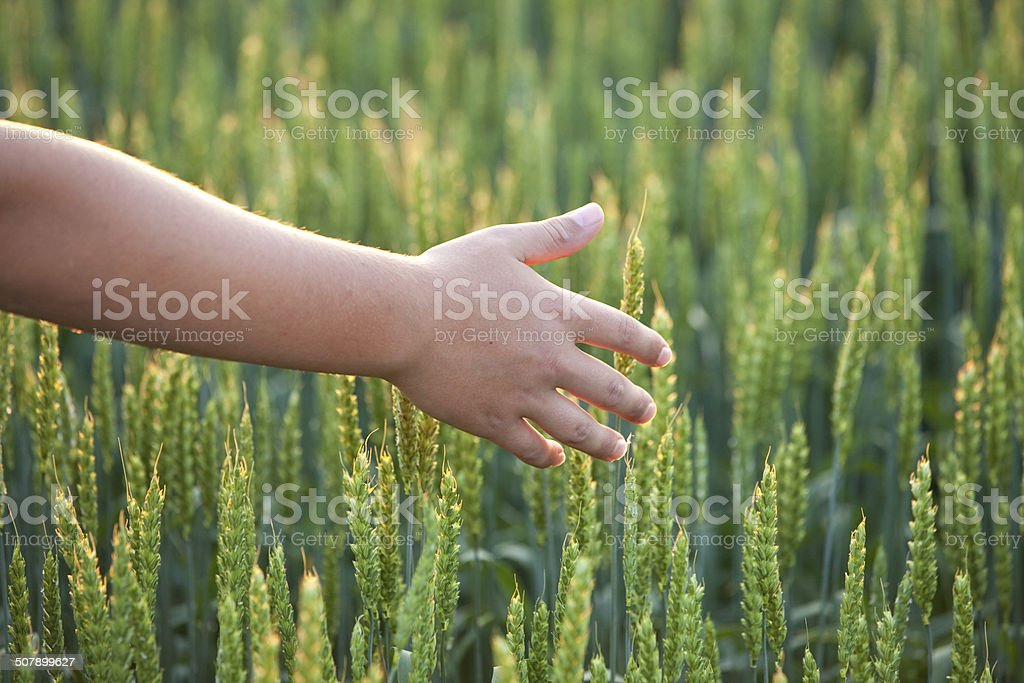 Young Boy With Hand in Green Wheat Field stock photo