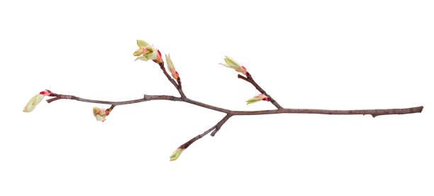 Um ramo jovem da apple três isolados - foto de acervo