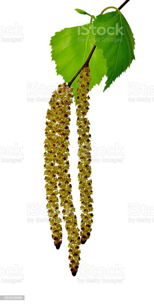 young branch of birch with buds and leaves isolated stock photo