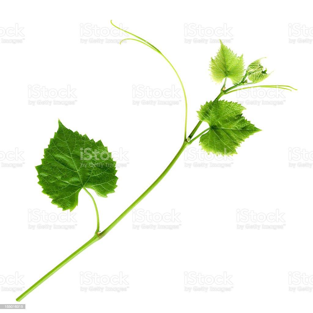 Junge Branch von grapevine – Foto