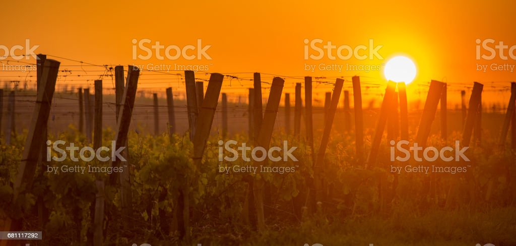 Young branch with sunlights in vineyards royalty-free stock photo