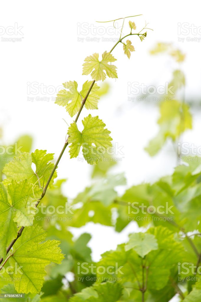young branches of grapes on nature stock photo