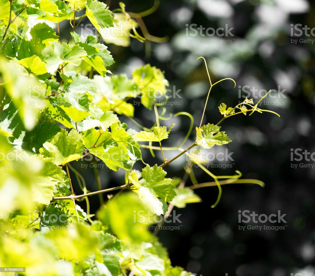 young branches of grapes stock photo