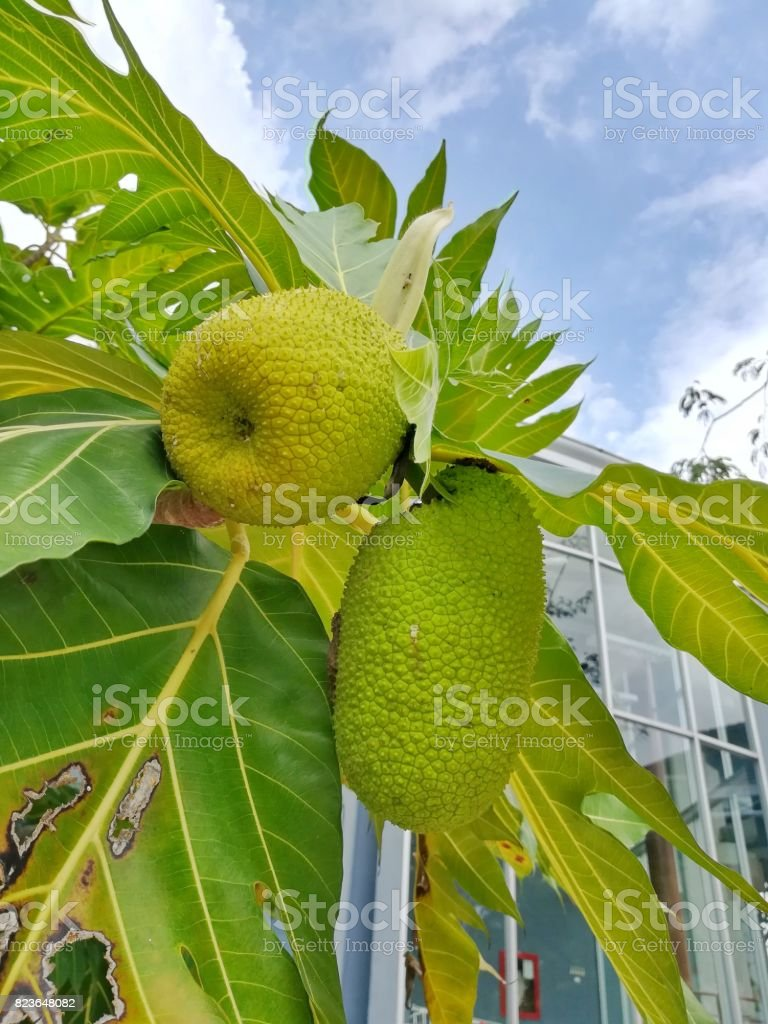 Young breadfruit stock photo