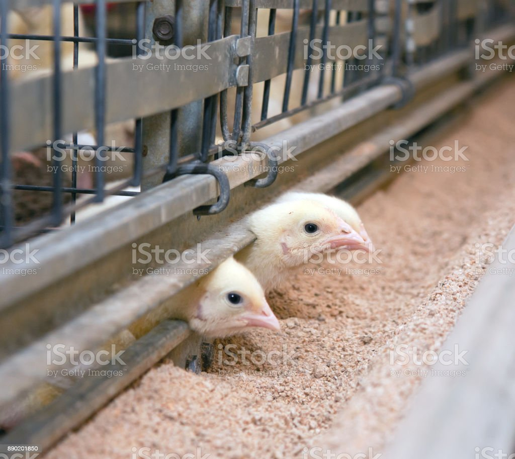 Young broiler chickens at the poultry farm stock photo