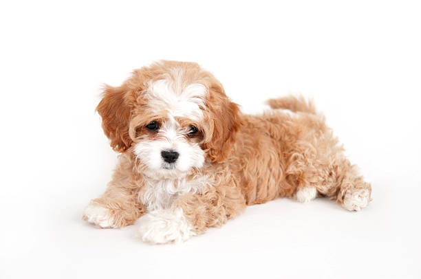 Young brown and white cavapoo puppy picture id173255259?b=1&k=6&m=173255259&s=612x612&w=0&h=40 kgftbqldby4lmdzoxvv7kwblx0mnhfeehjyt61ms=
