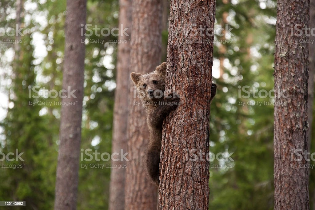 Young brown bear climbing a tree stock photo