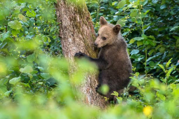 Junger Braunbär klettert auf den Apfelbaum. Karpaten. Polen – Foto