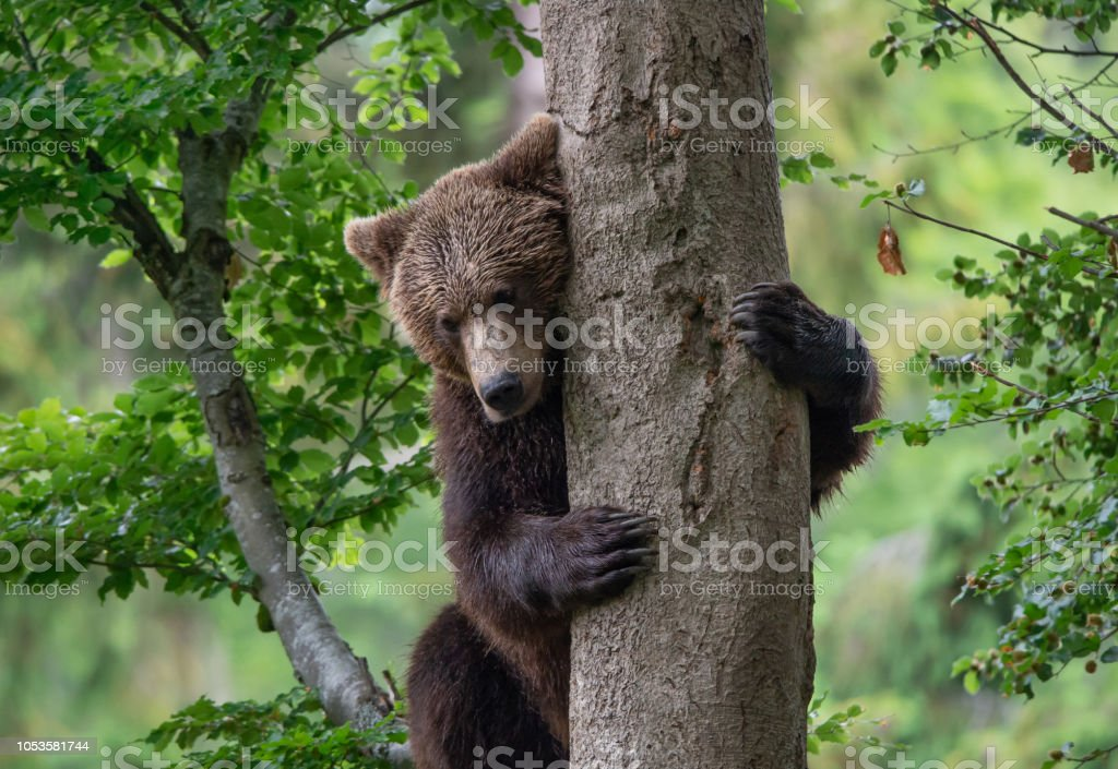 young brown bear embracing a tree in the forest stock photo
