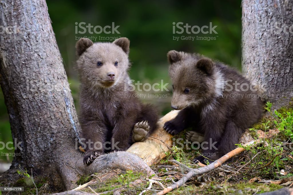 Young brown bear in the forest stock photo