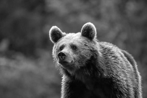 幼小的棕熊在野地-羅馬尼亞圖像檔