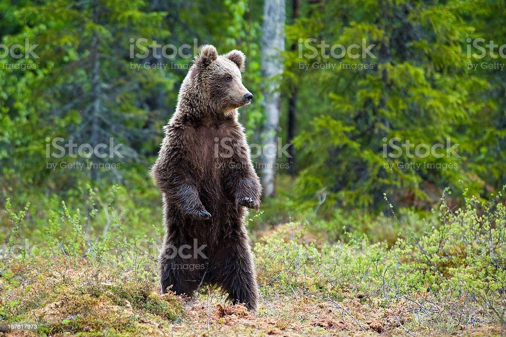 Jeunes ours brun debout dans un marais, la vie sauvage-Image - Photo