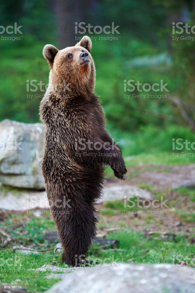 Jovem marrom urso em pé - foto de acervo
