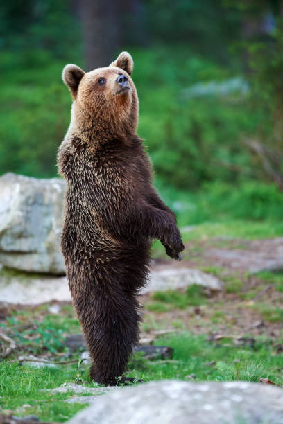Young brown bear standing stock photo