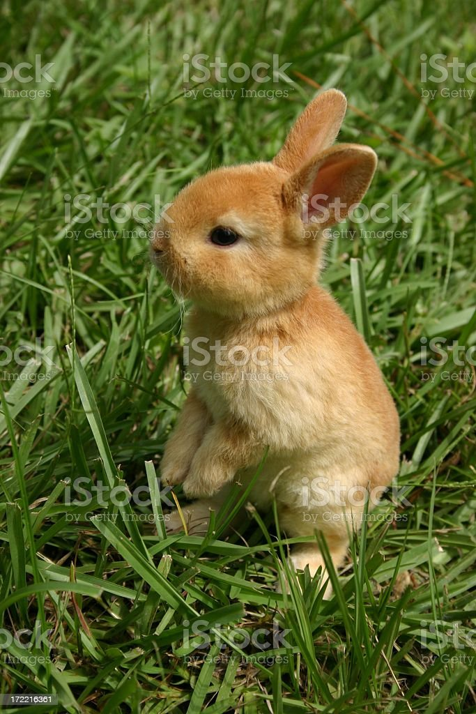 A young brown bunny rabbit in the summer grass royalty-free stock photo