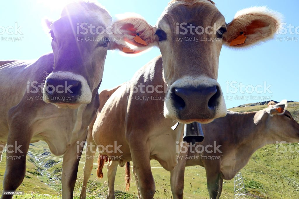 Young brown cattle with cowbells in the mountains in the light of the sun stock photo