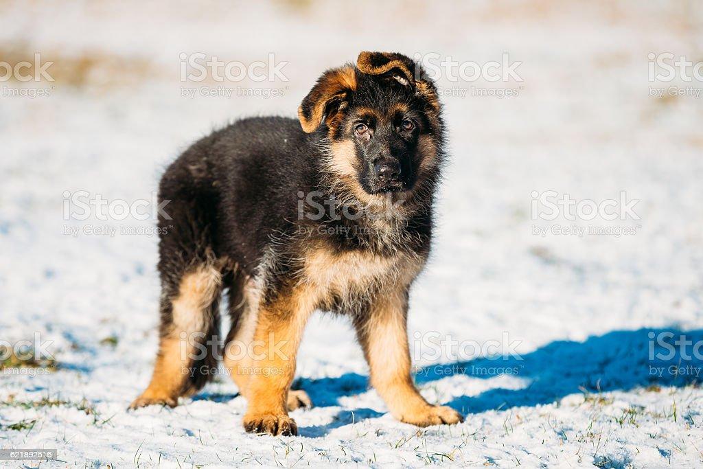 Young Brown German Shepherd Puppy Dog Outdoor At Winter Foto De Stock Y Mas Banco De Imagenes De Aire Libre Istock