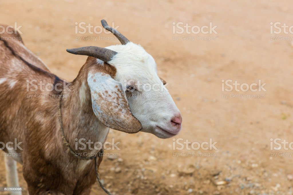 Young Brown Goat At An Animal Farm In Chiang Mai Thailand