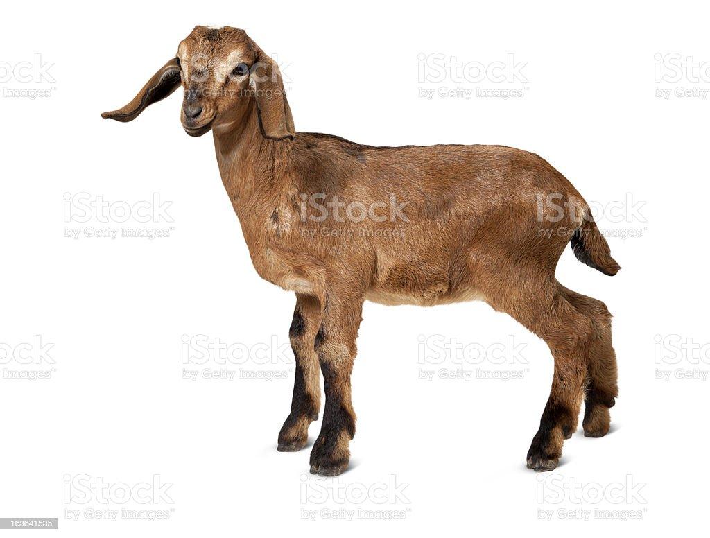 Marrom de cabra jovem em pé em um fundo branco. - foto de acervo
