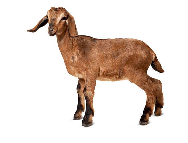 Brun jeune chèvre, debout sur un fond blanc. - Photo
