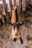 Frontal picture of a goat