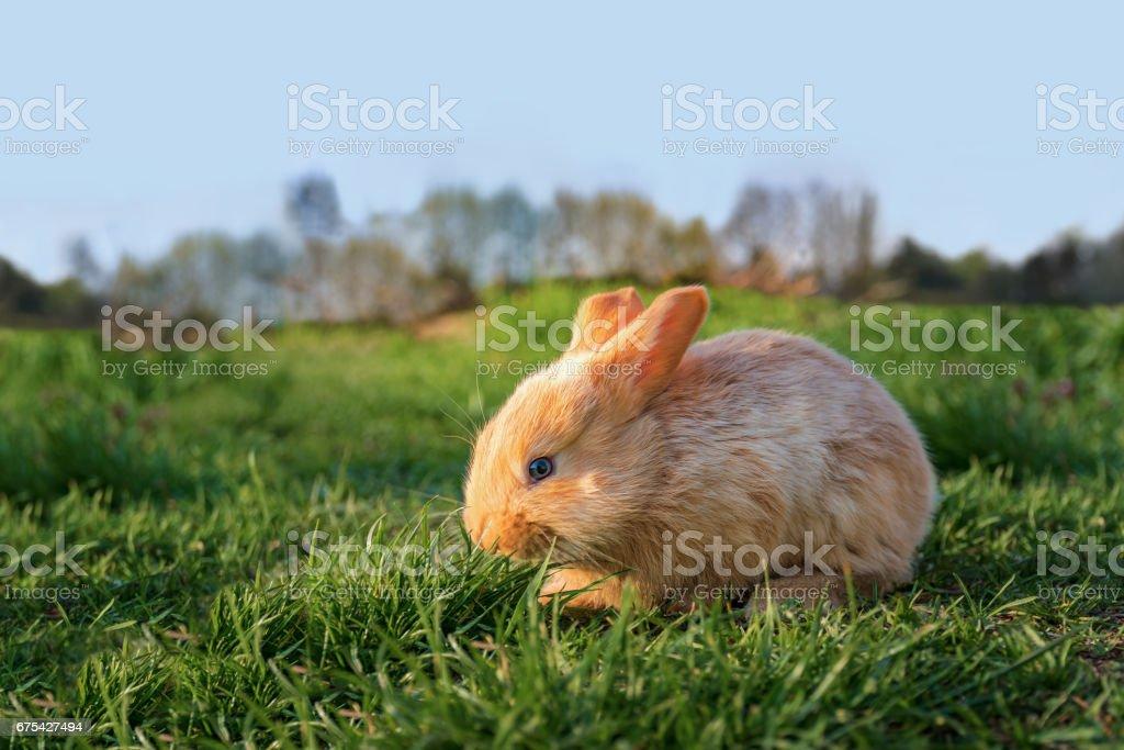 Genç kahverengi Rabit royalty-free stock photo